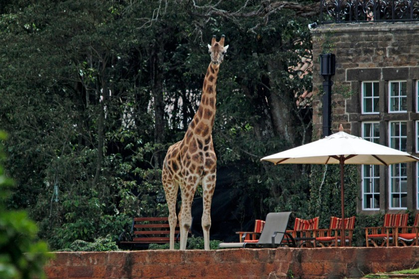 George, there's a Giraffe in the garden!