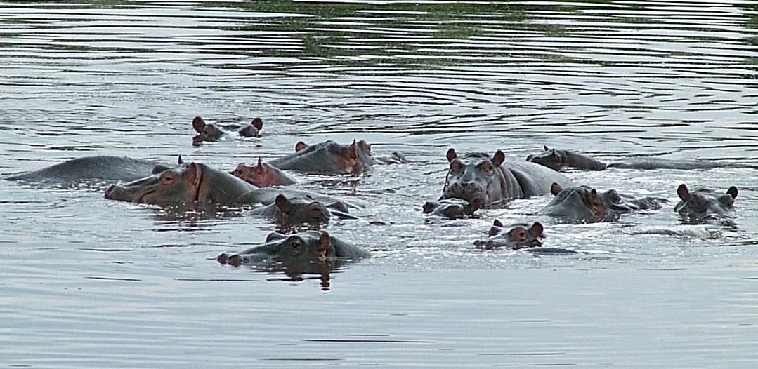 Keekorok Hippos