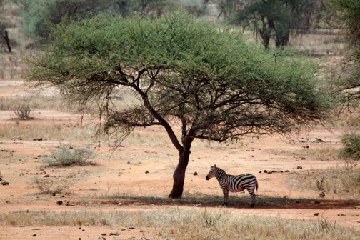 Under the Acacia - Tsavo West