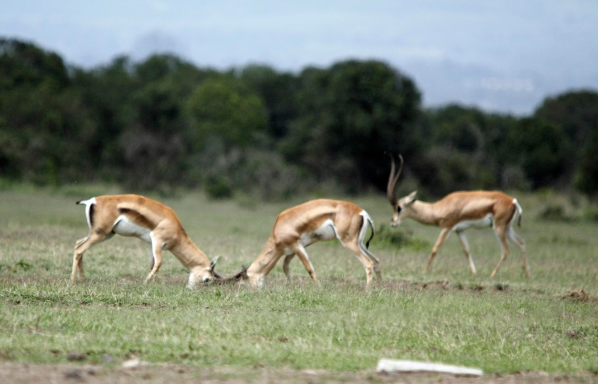 Grant's Gazelle bucks sparring