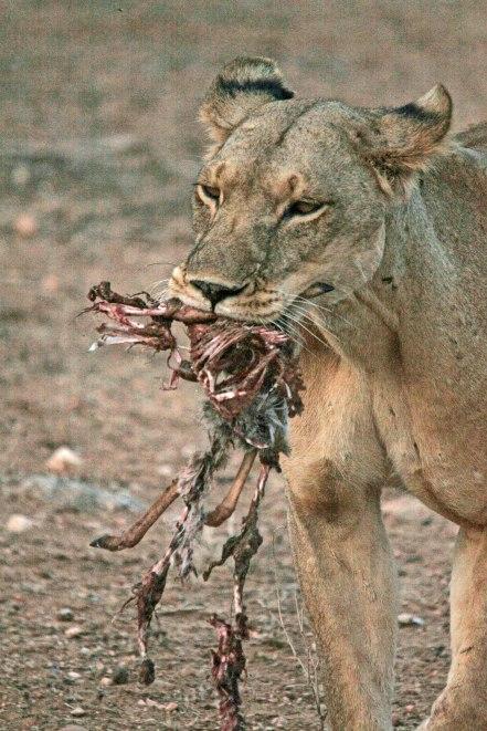 Lioness with Dik Dik kill