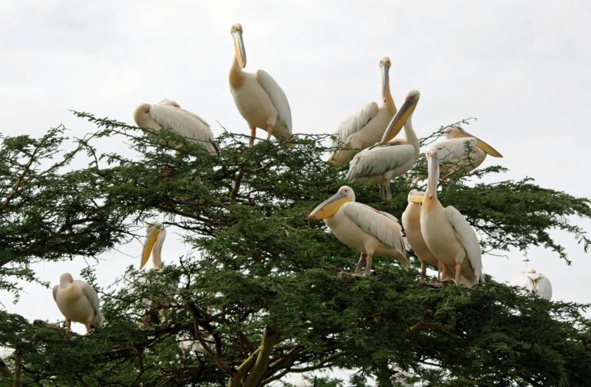 Pelican tree